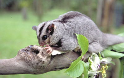 The Endangered Mahogany Glider