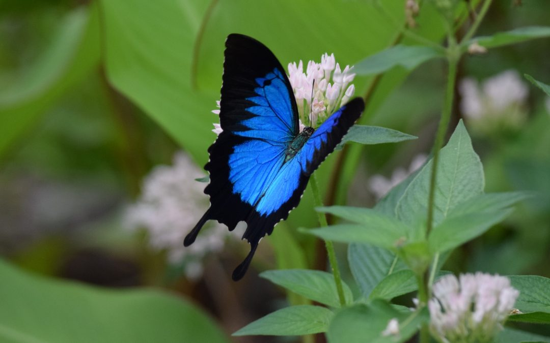 The Uylsses Butterfly